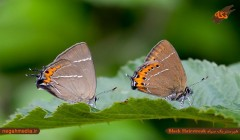 هیرستریک سیاه (Black Hairstreak)