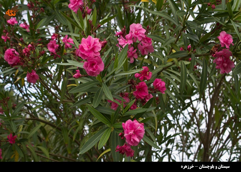 Image result for خرزهره